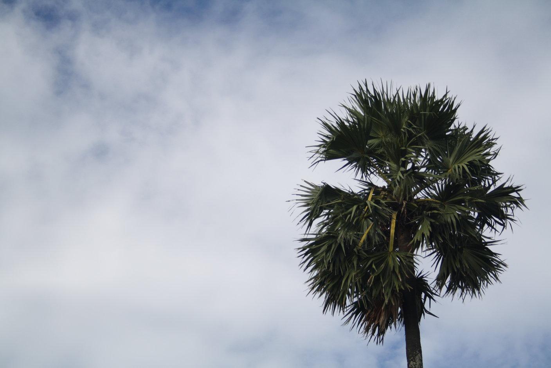 Palmyra palm tree photos
