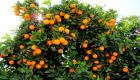 Orange tree slideshow