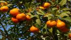 Orange tree image