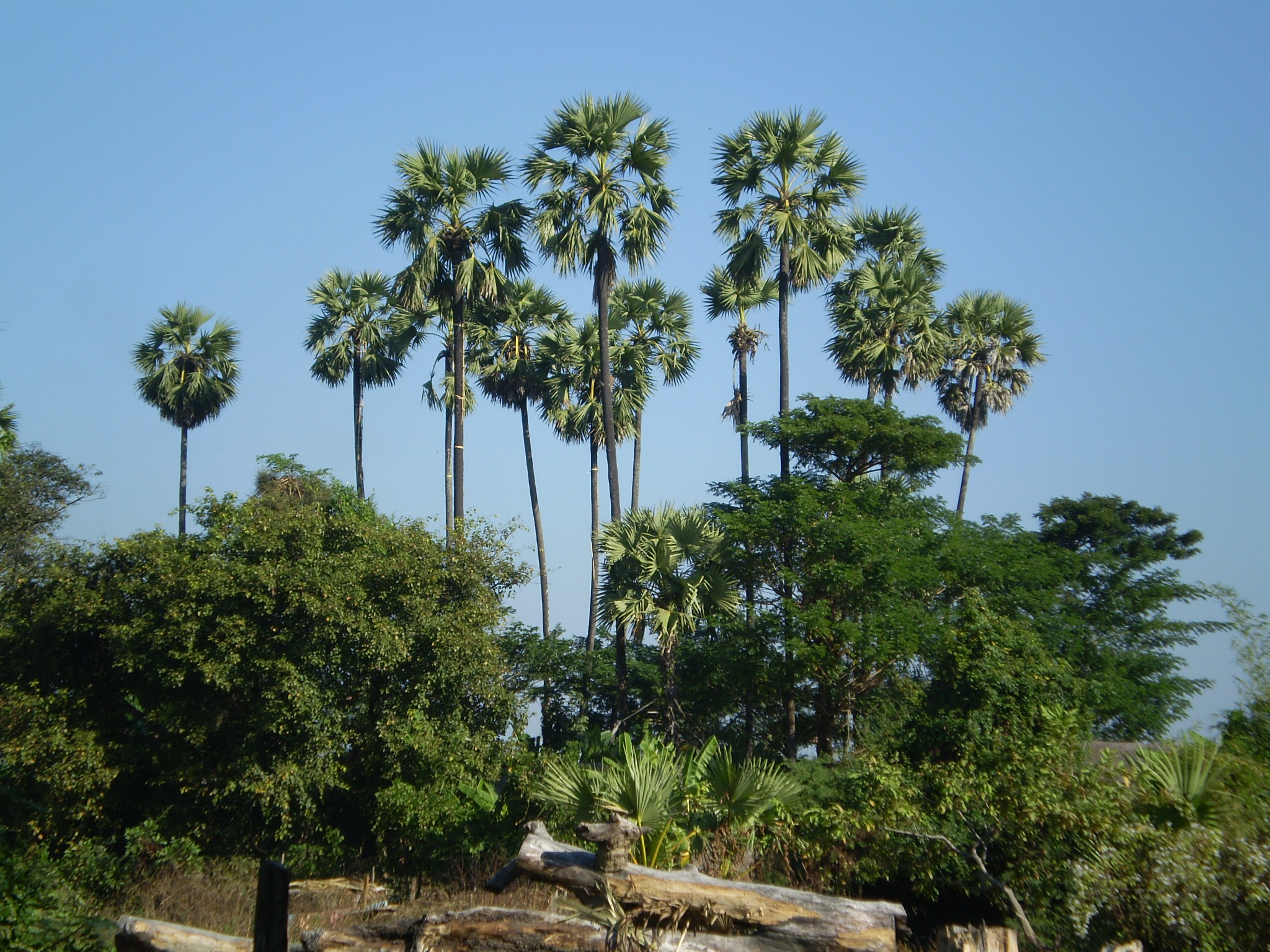 Tree palmyra palm pictures