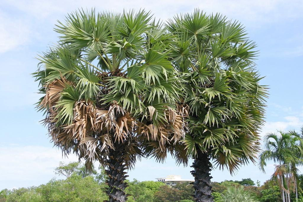 Two palmyra palm image