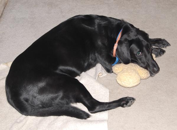 Animal black dog sleeping