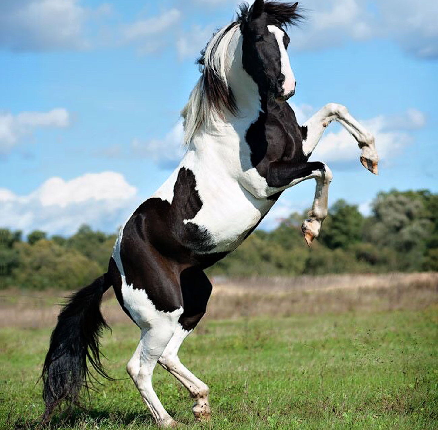 Beautiful white and black horse animal