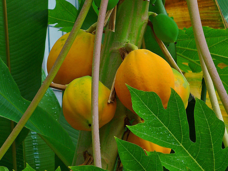 Papaya tree many fruit