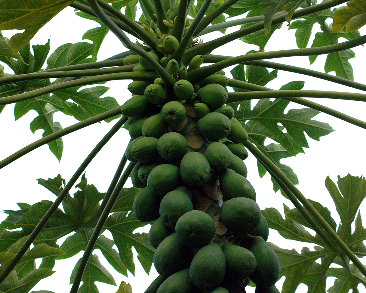 Papaya tree many vegetables