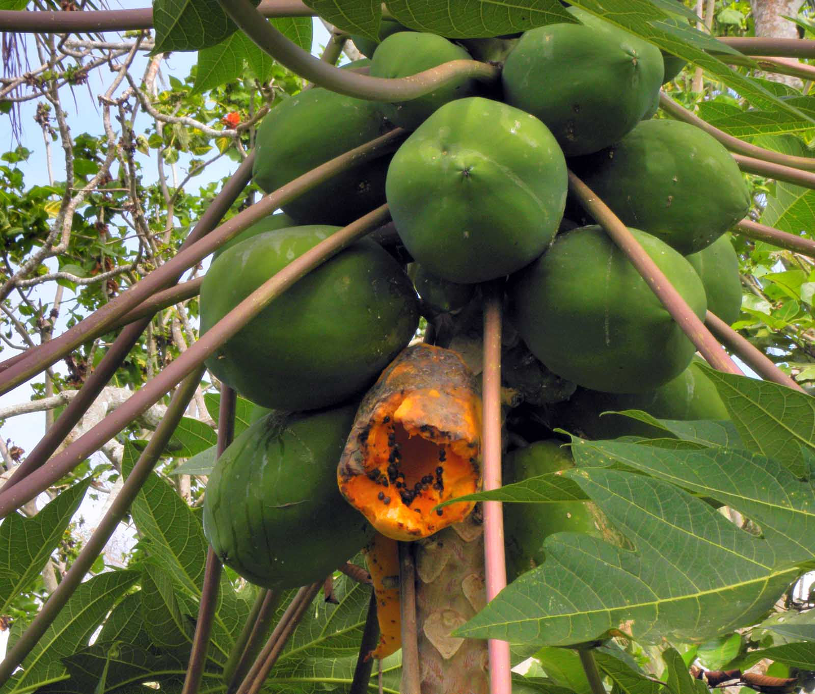 Papaya tree pictures