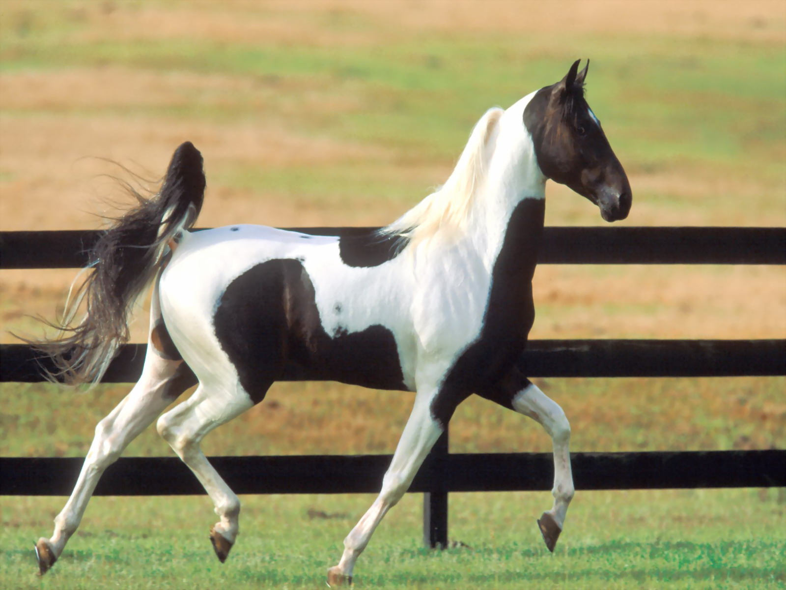Running white and black horse animal