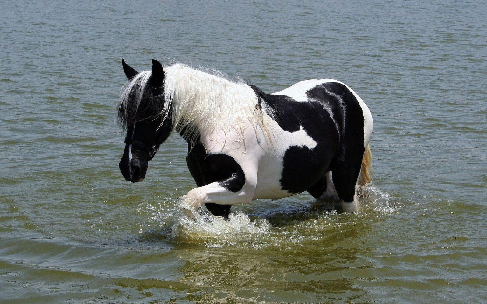 White and black horse inside water pictures