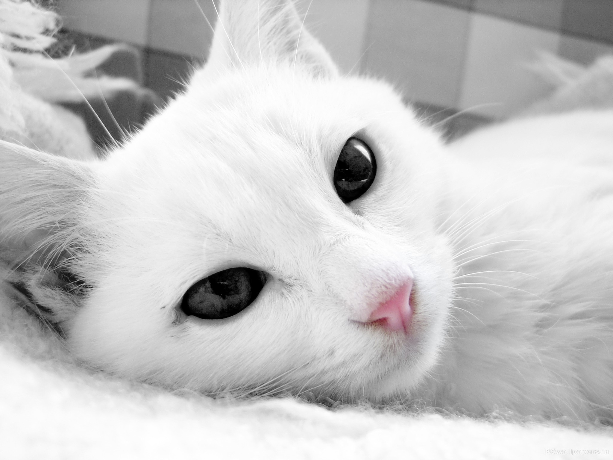 White cat animal laying in bed