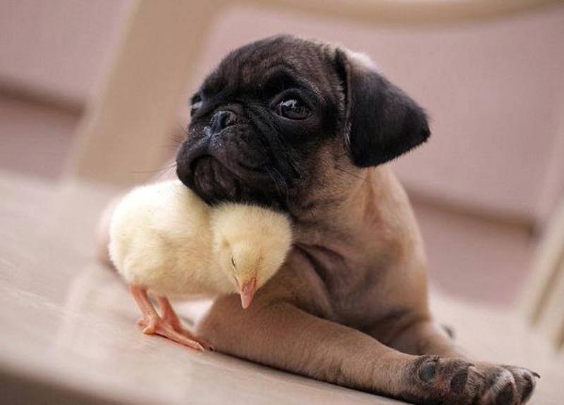 Chick with dog animal pictures