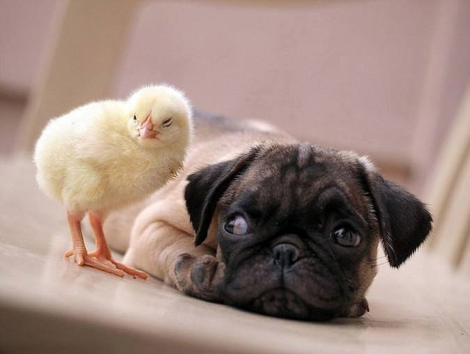Chick with dog pictures