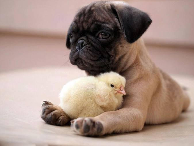 Chick with dog wallpaper