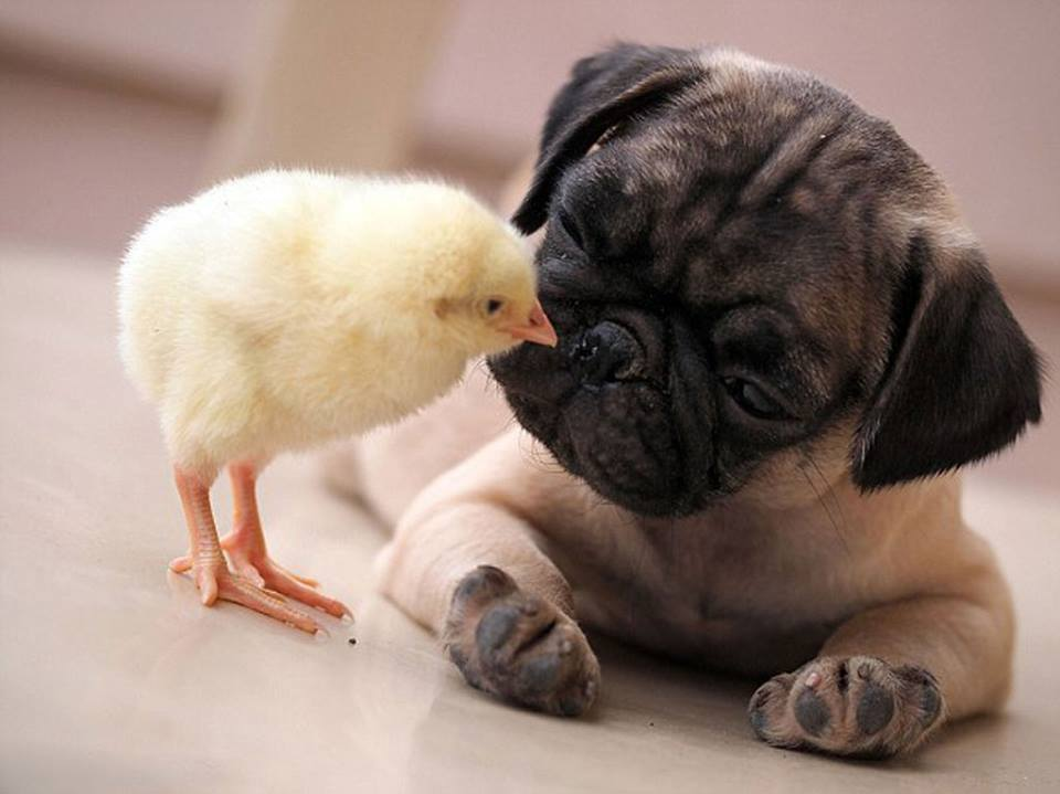 Small chick with dog pictures