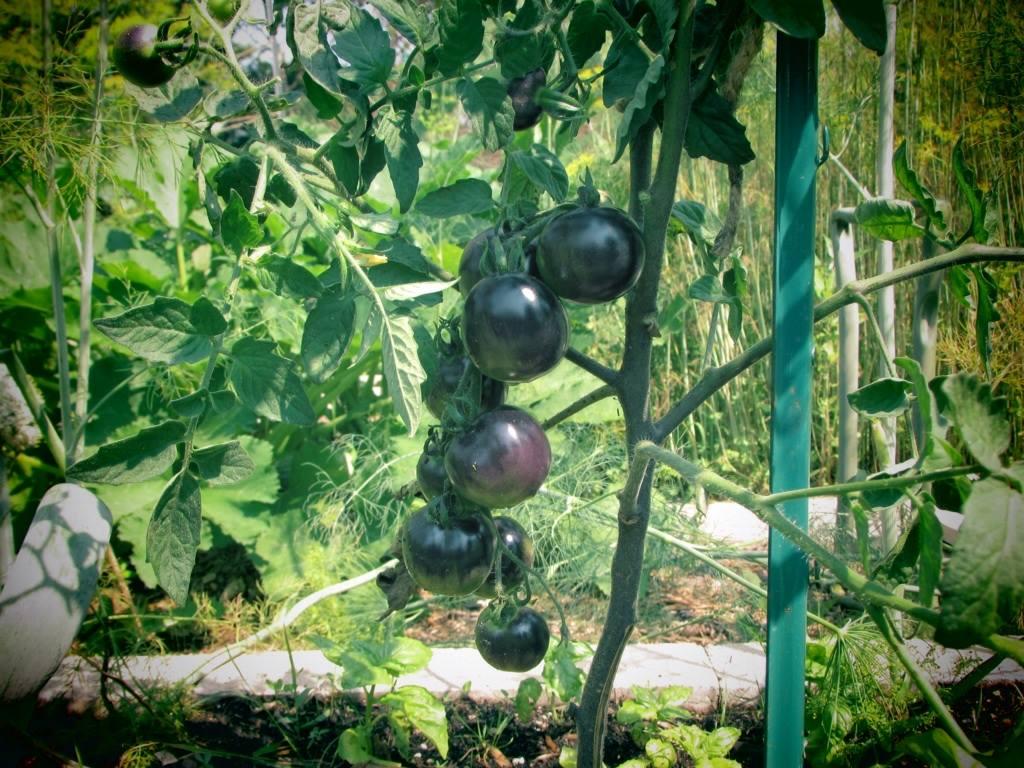 Black tomato plants photos