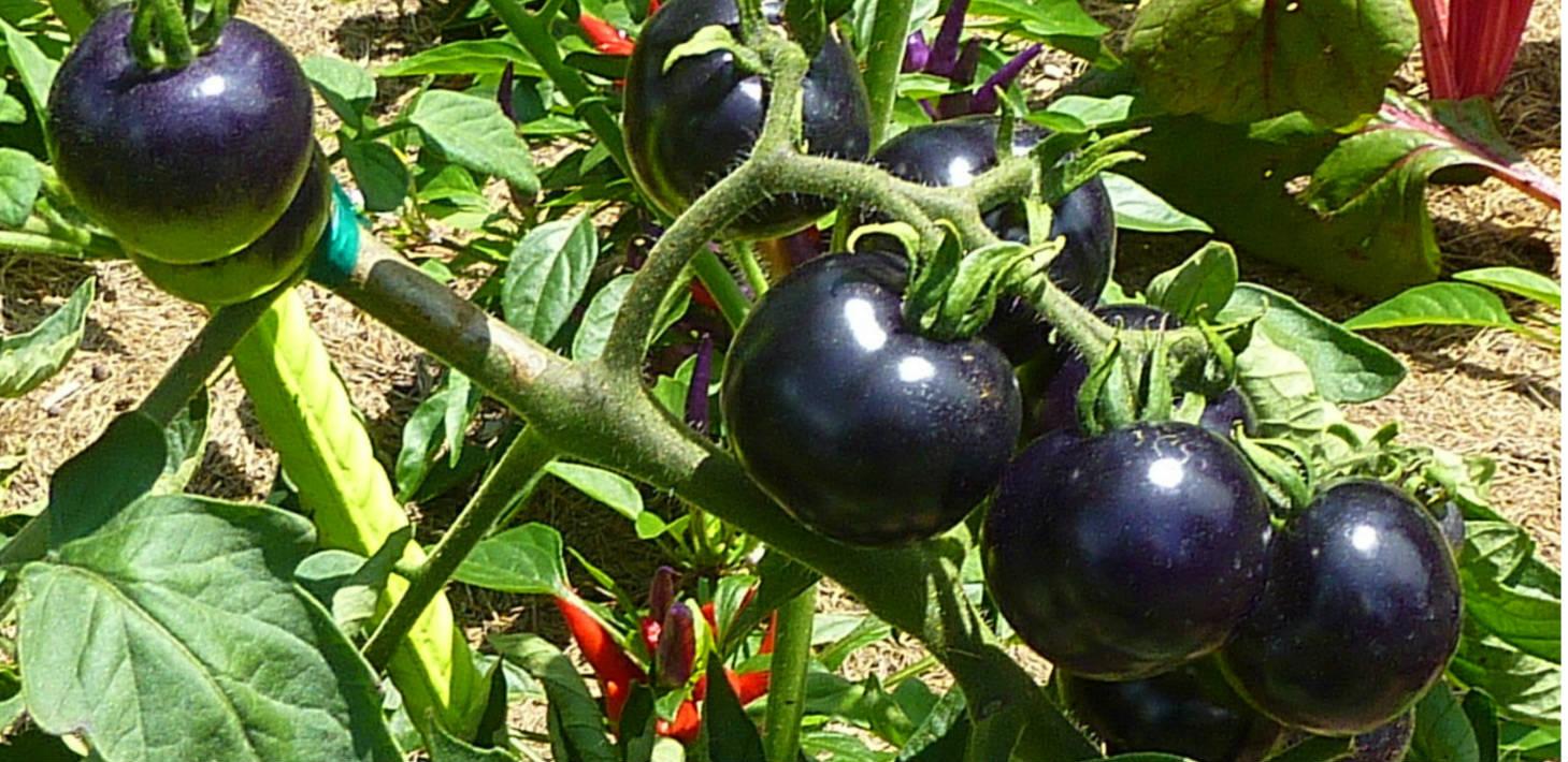 Black tomatoes wallpaper