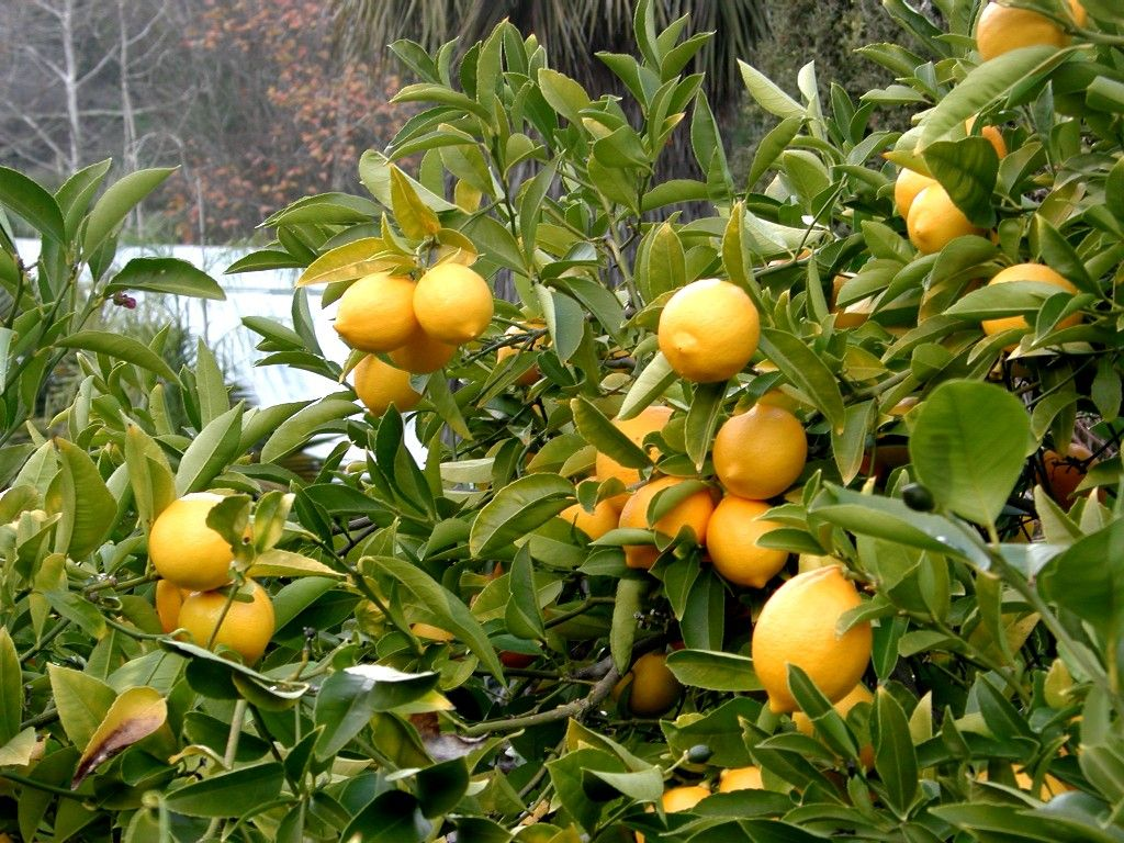 Indian lemon tree pictures