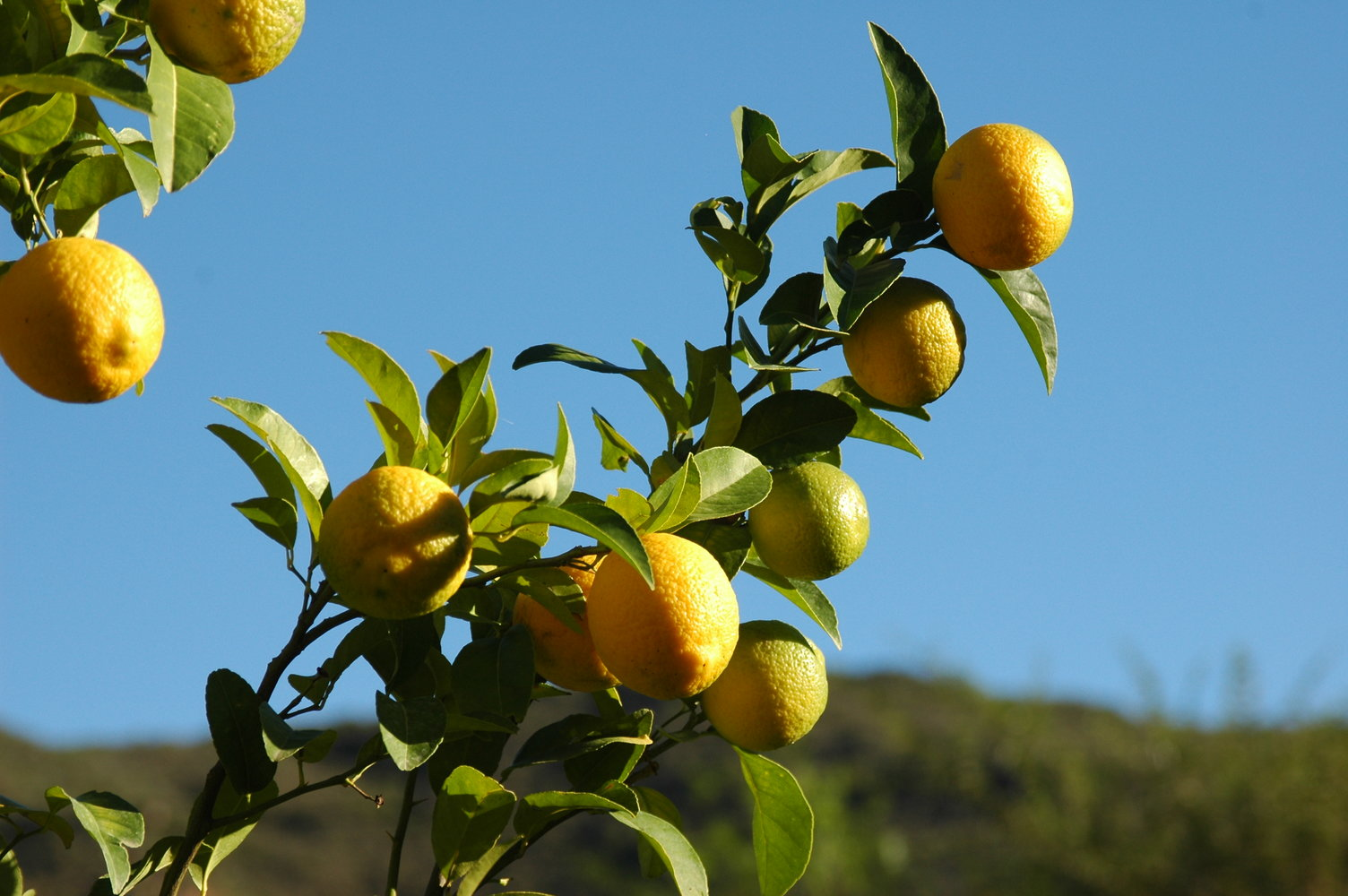 Lemon tree fruit pictures