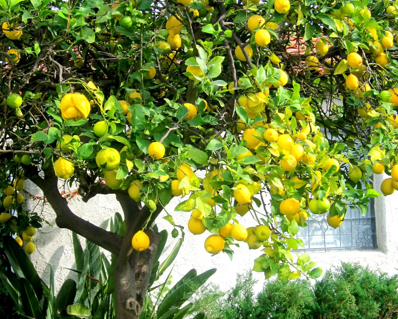 Lemon tree images