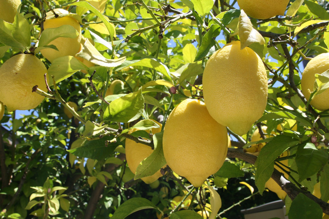 Lemon tree photos