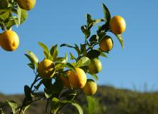 lemon tree pictures