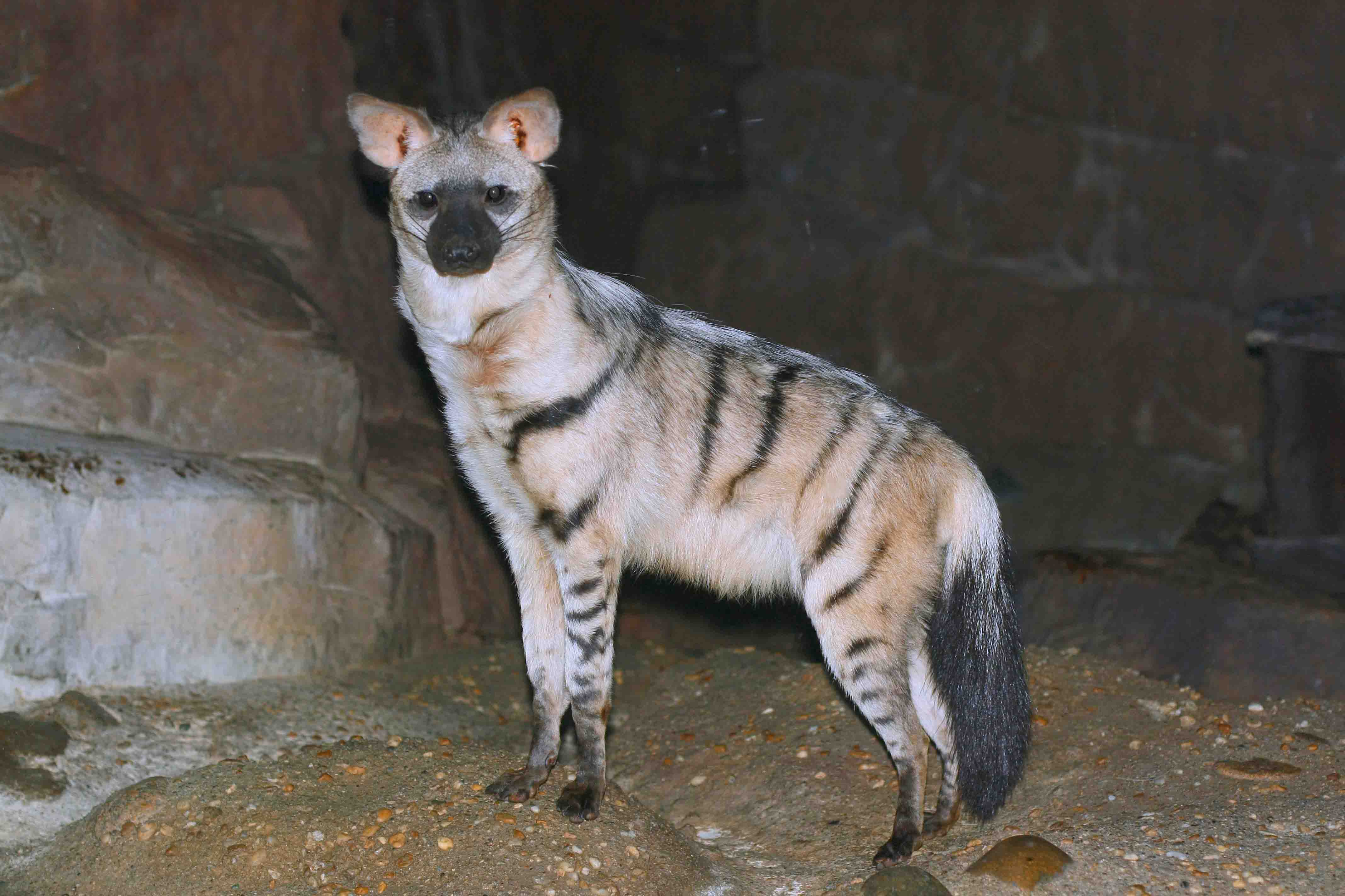 Aardwolf animal photos
