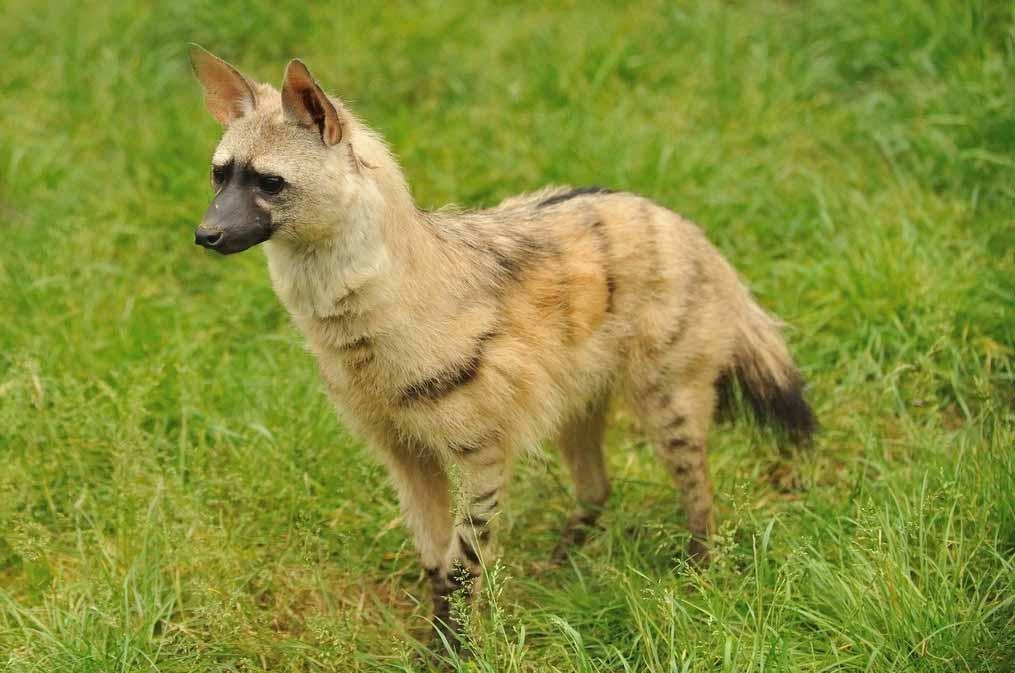Aardwolf cute images