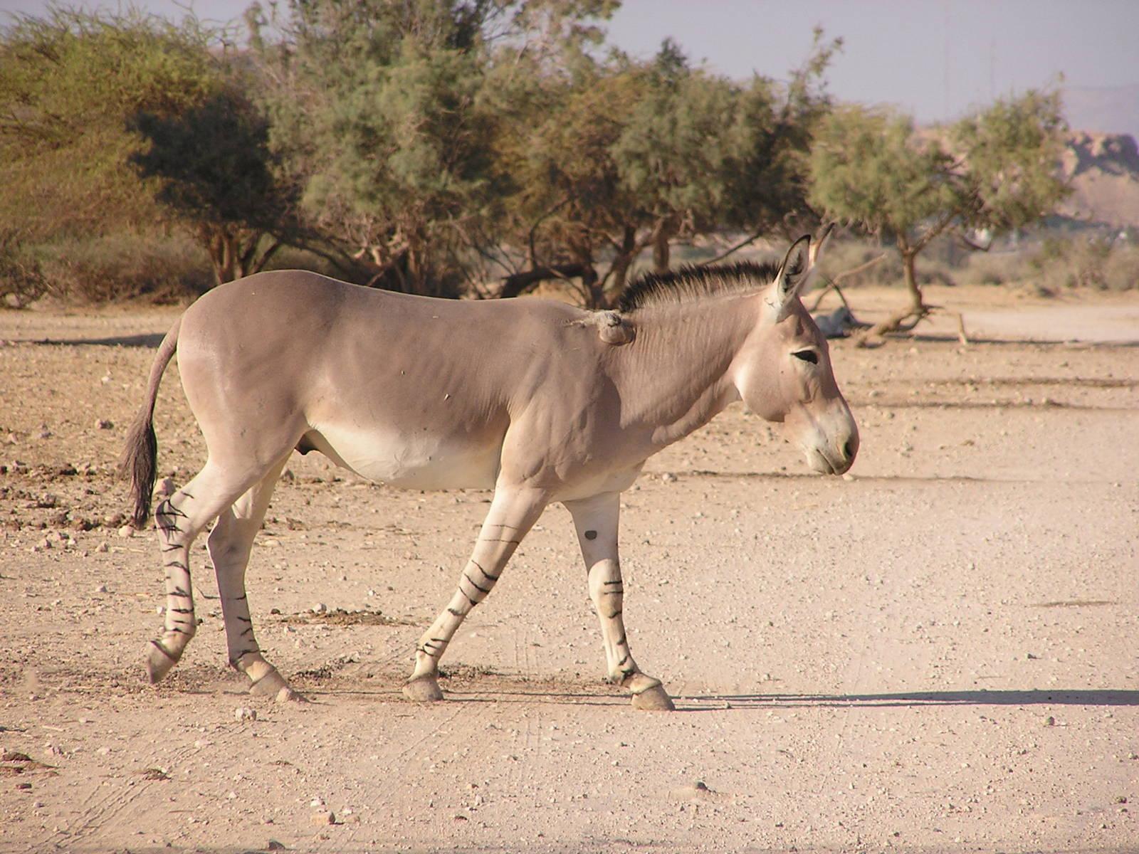 African wild ass animals