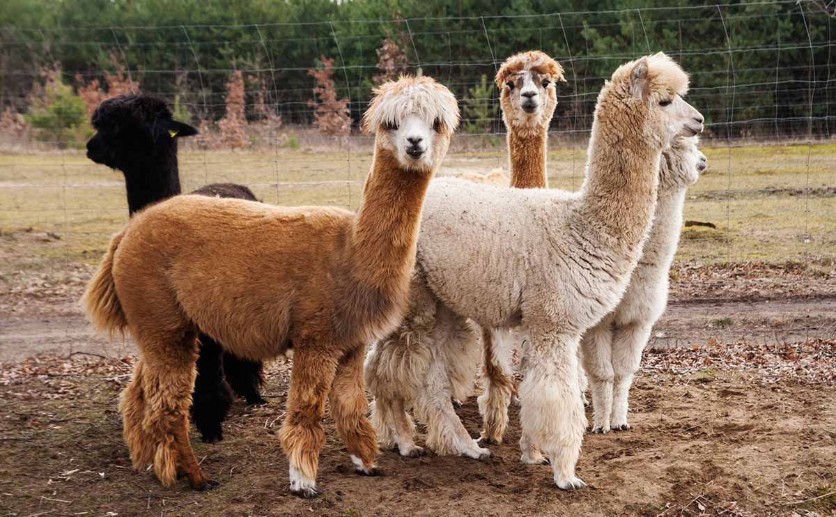 Alpaca baby group photos