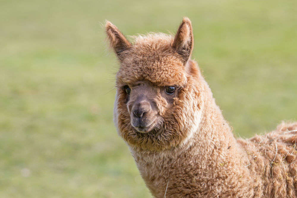 Alpaca face photos
