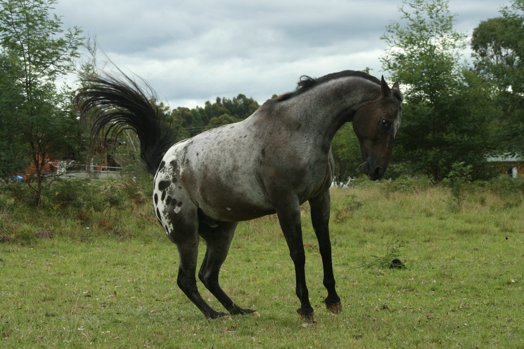 Appaloosa horse black animal pictures