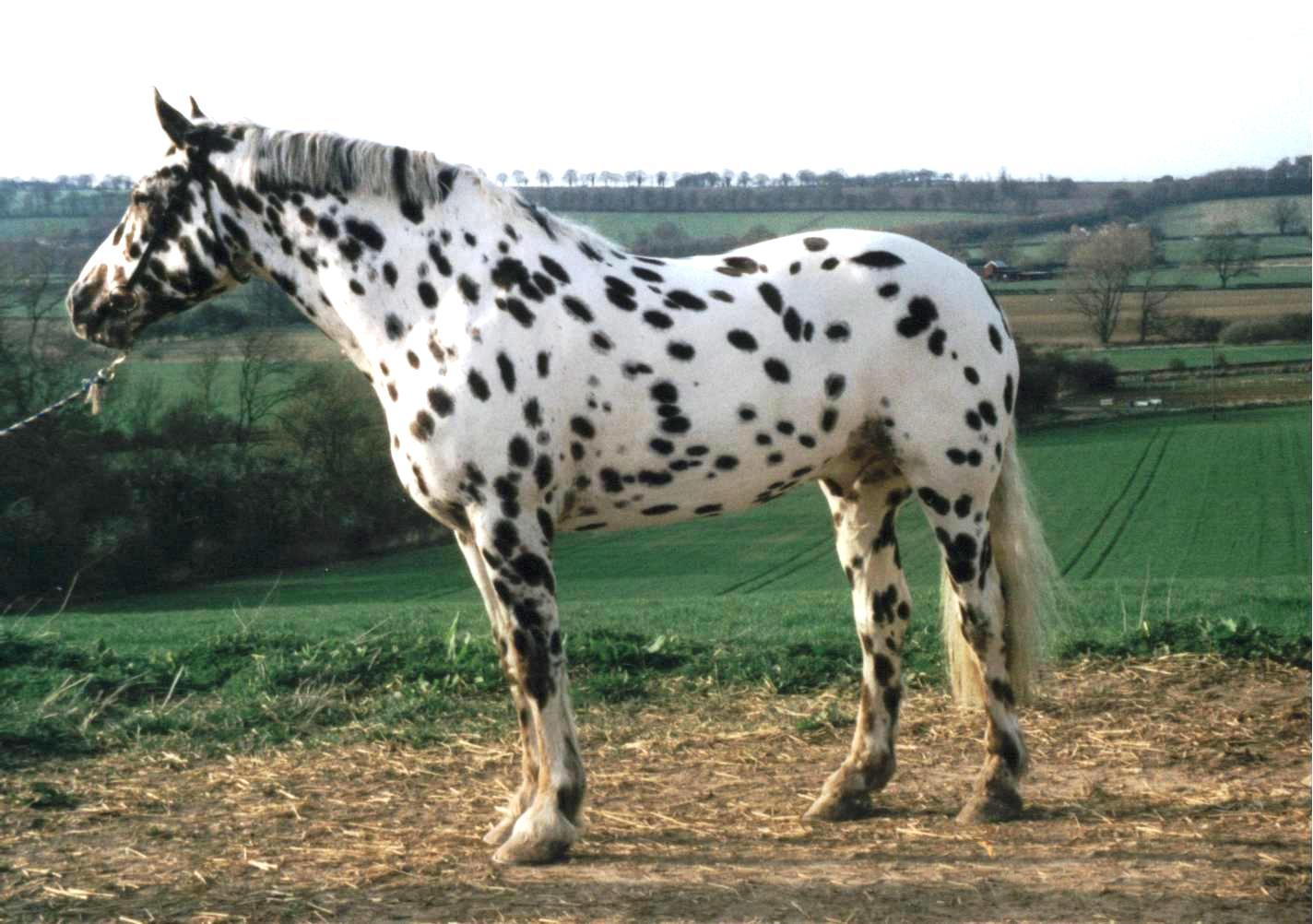 Appaloosa horse pictures