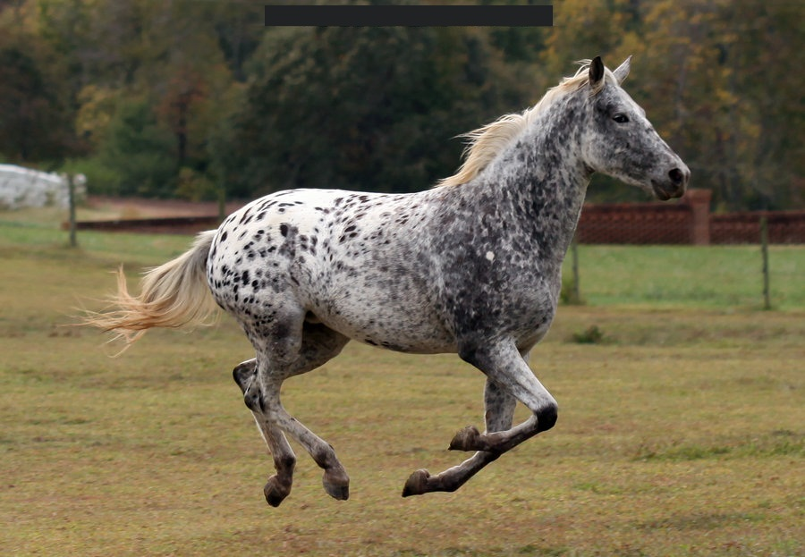 Appaloosa horse wallpaper