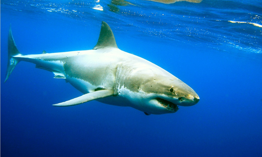 Australian animal great white shark pictures