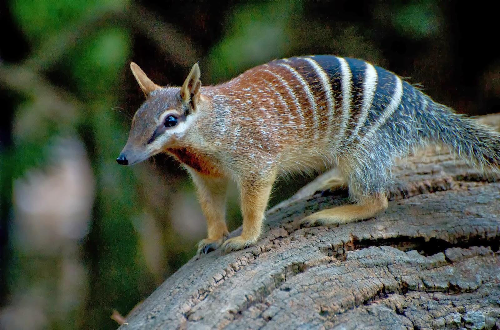 Australian animal numbat photos