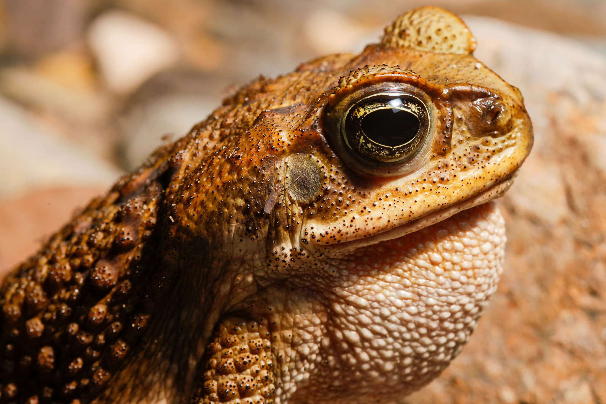 Australian animals cane toad pictures