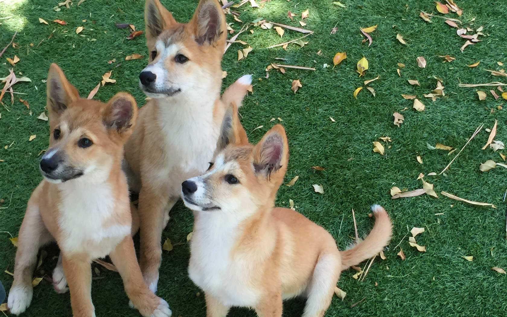 Australian animals dingo pictures
