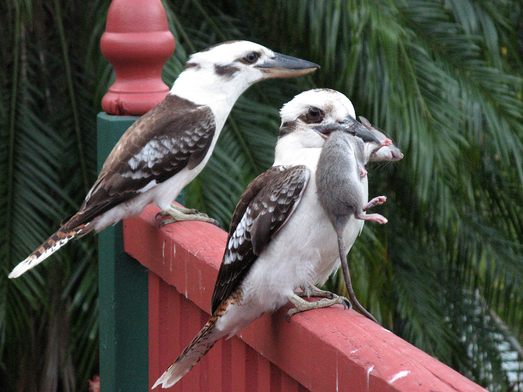 Australian birds kookaburra family photos