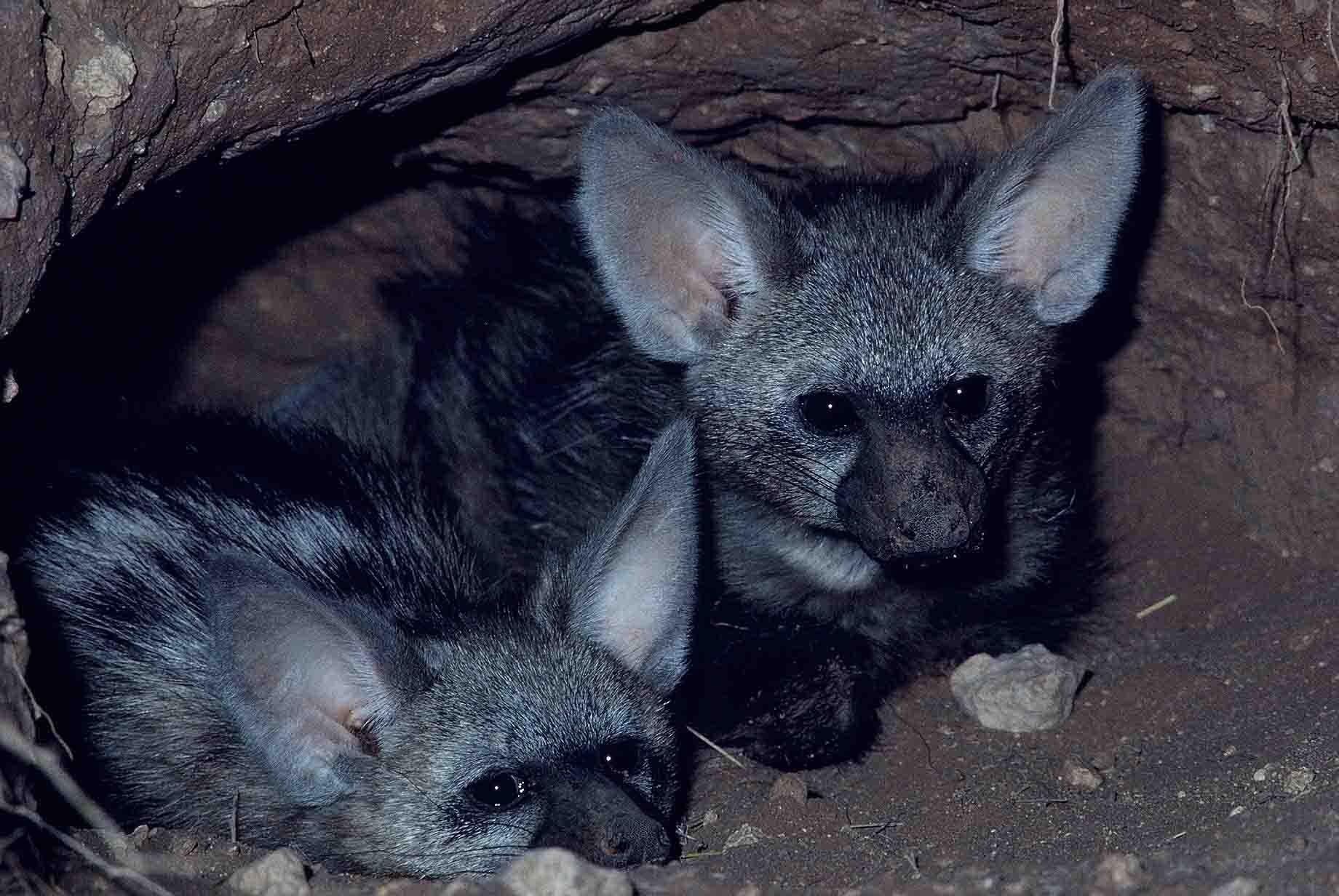 Baby aardwolf photos