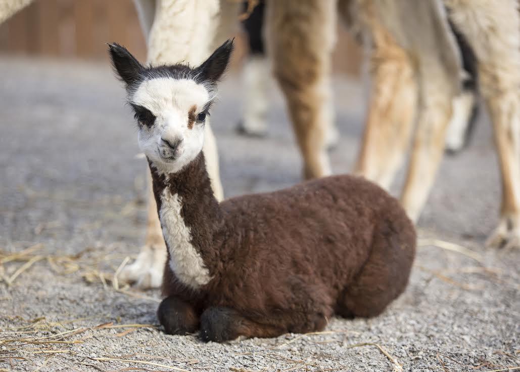 Baby alpaca pictures