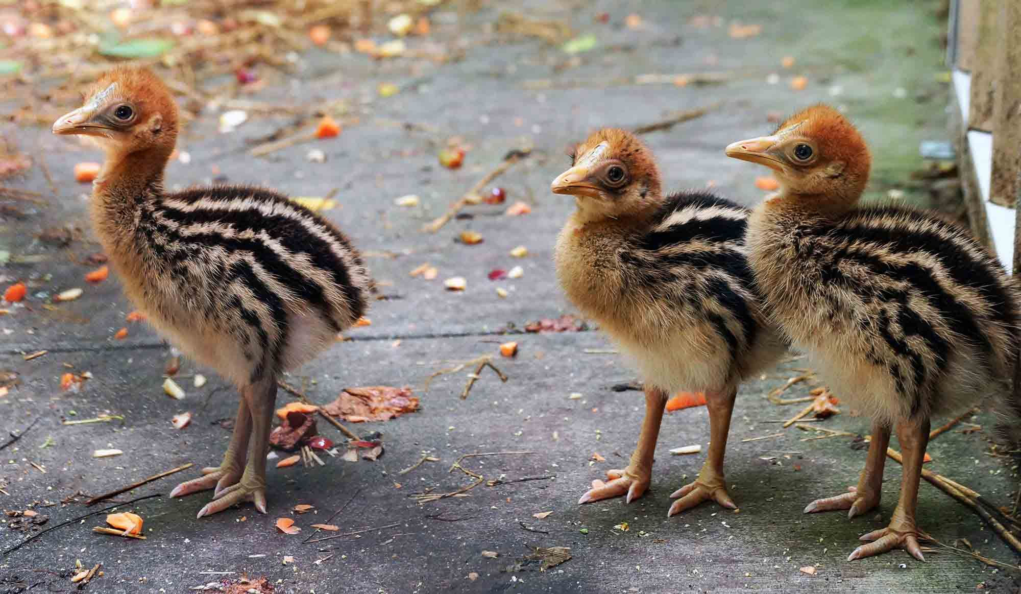Baby cassowary pictures
