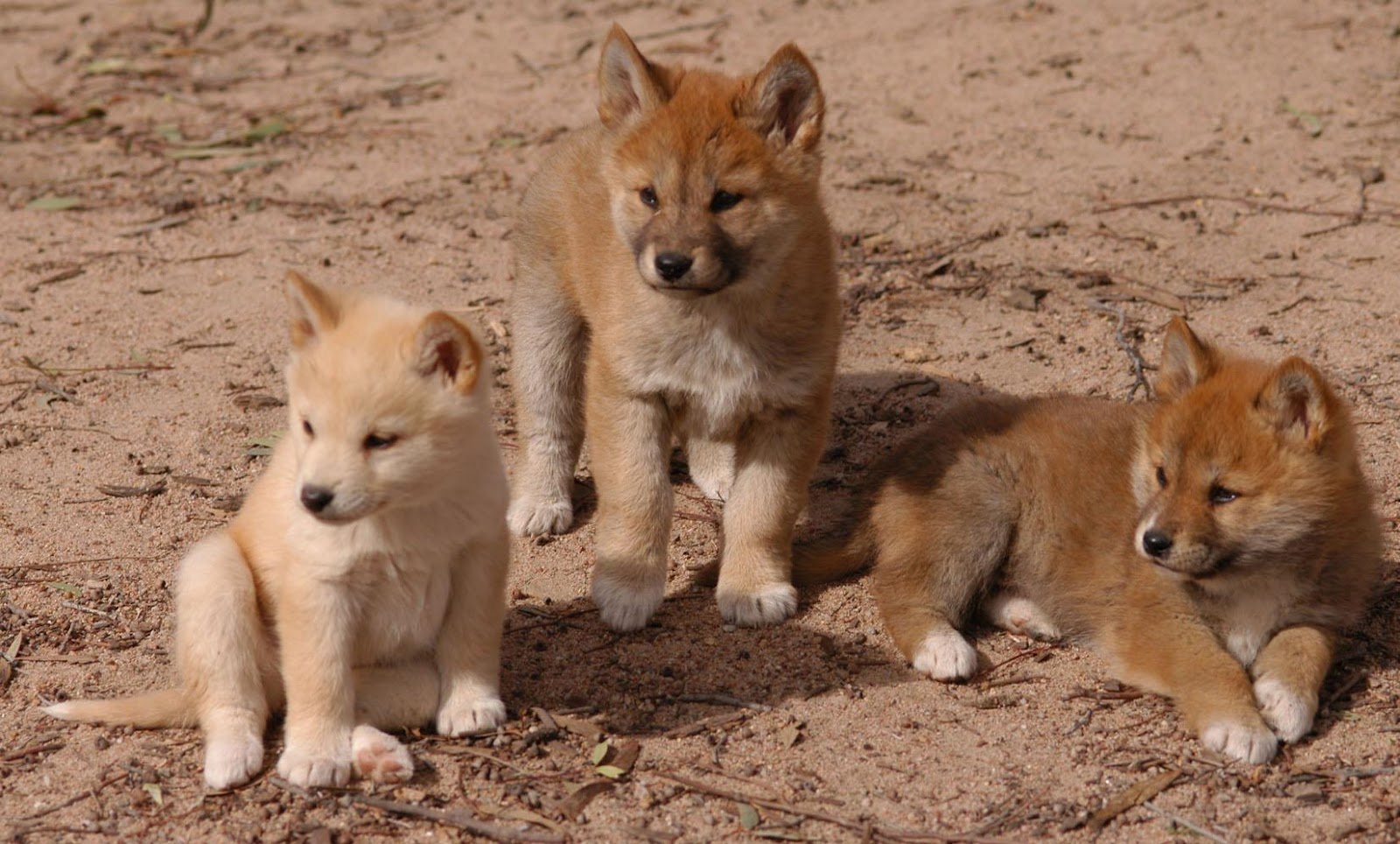 Baby dingo animals gallery