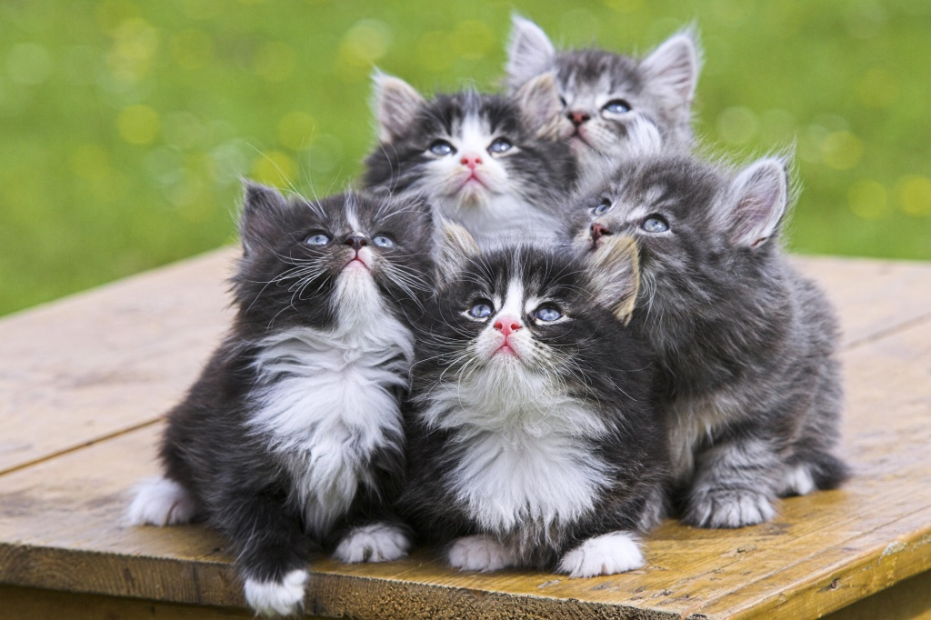 Baby norwegian forest cat group images
