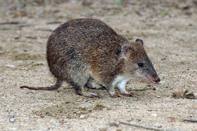 Bandicoot australian animals photos
