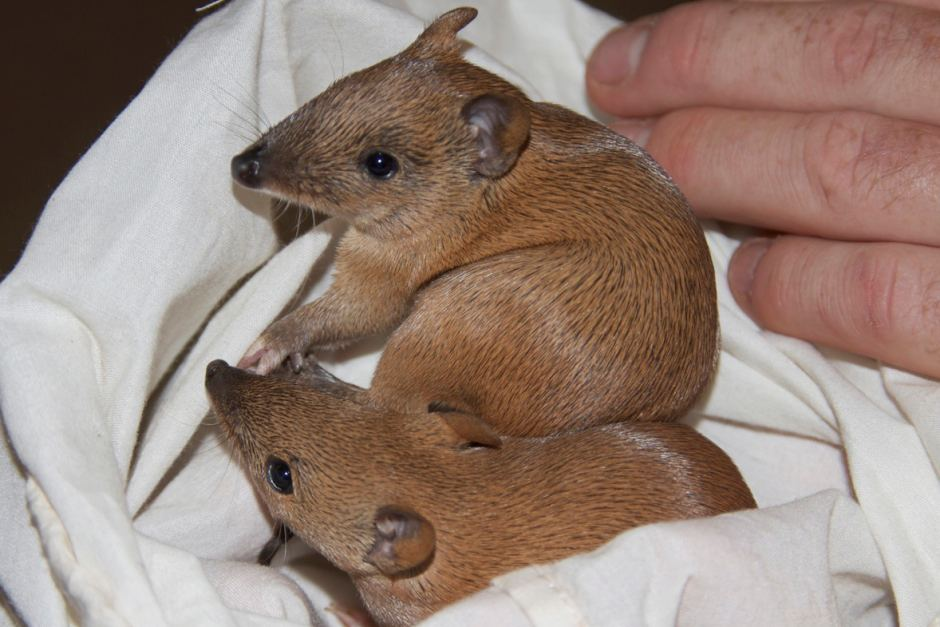 Bandicoot baby animal pictures