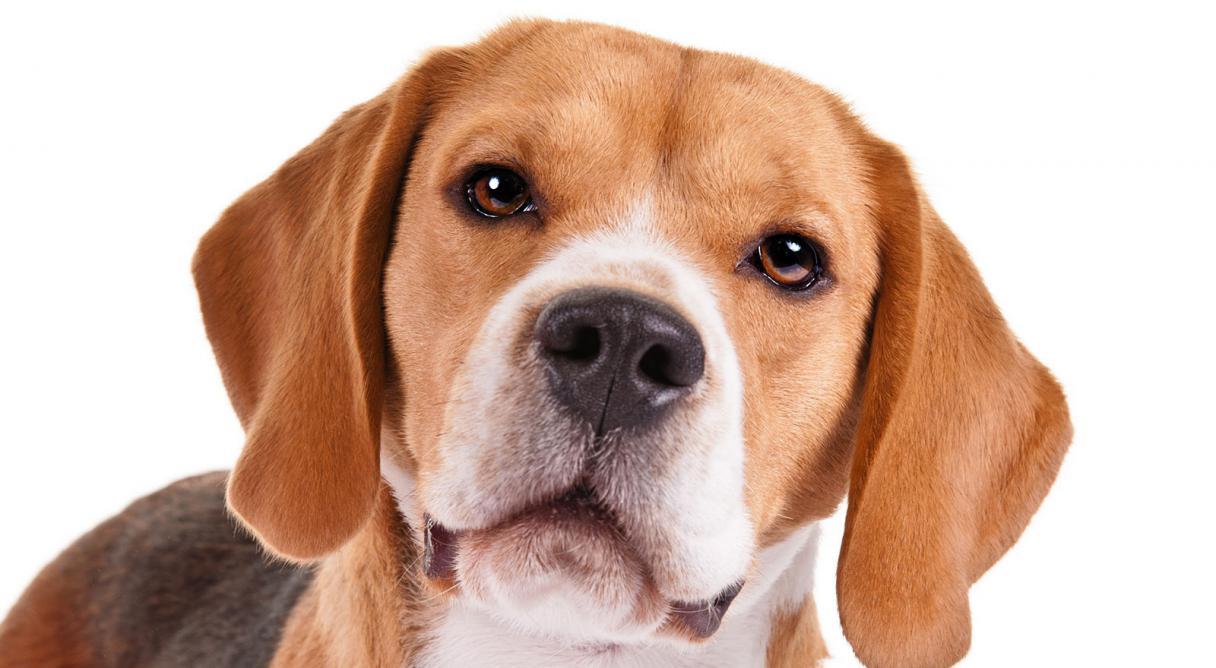 Beagle dog face gallery