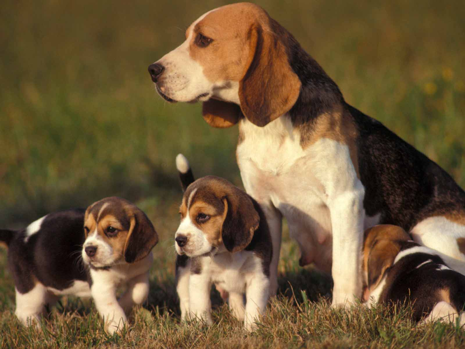 Beagle dogs images