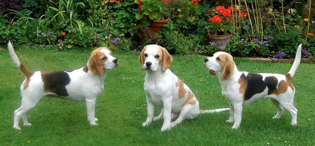 Beagle group dog photos