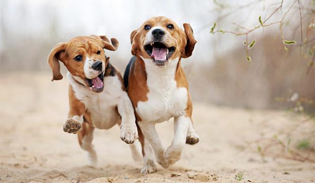 Beagle running stills
