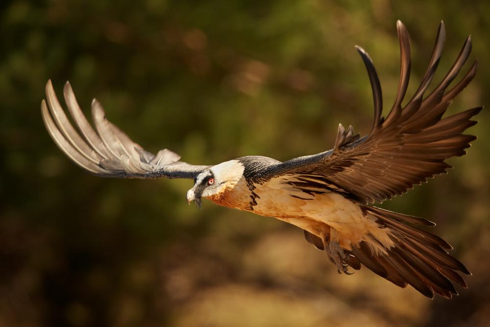 Bearded vulture flying bird photos