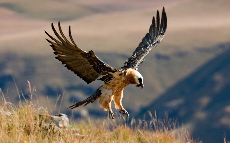 Bearded vulture landing bird photos